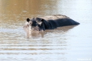 Moremi Nationaal Park - Happy hippo!