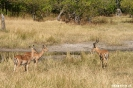 Moremi Nationaal Park - Red Leeche