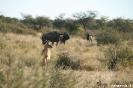 Khama Rhino Sanctuary - Impala met gnoe's