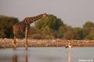 Etosha - Giraf danst met flamingo