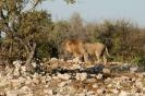Etosha - Leeuw verlaat de drinkpoel