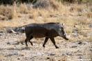 Etosha - Wrattenzwijn