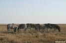 Etosha - Zebra's