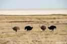 Etosha - Struisvogels