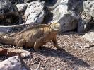 Galapagos - Landleguaan