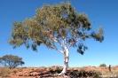 Kings Canyon - eenzame eucaliptusboom