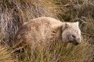 Cradle mountain - Wombat