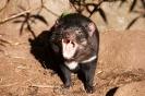 Tasmanian Devil!