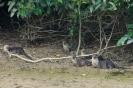 Kinabatangan - familie otter