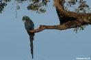Pantanal - Hyacint ara