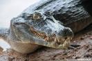 Pantanal - kaaiman