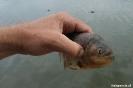 Pantanal - piranha