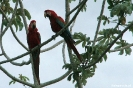 Pantanal - rood-blauwe ara