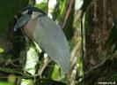Torteguero - nachtreiger, Boat billed heron