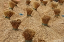 Rijst staat te drogen