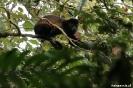 Mombacho - Brulaap (Howler monkey)