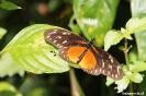 Mombacho - Vlinder