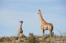 Kgalagadi Transfrontier Park - Giraf met jong